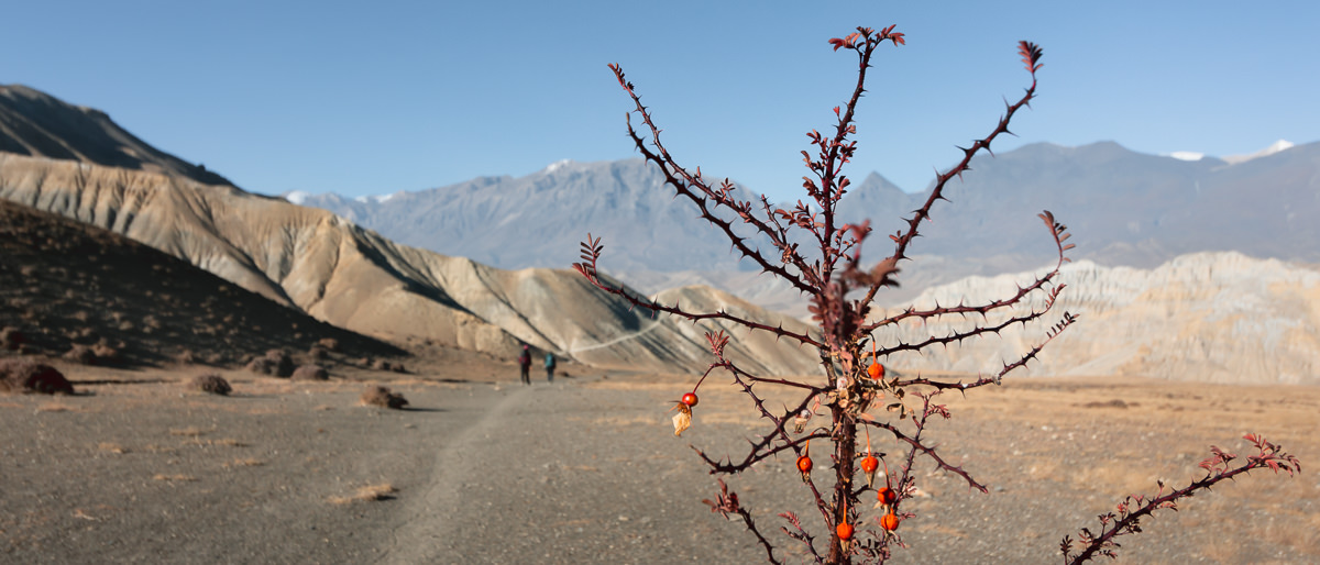 A detailed shot of a thorny bush with red berries, a flat high plateau stretching out beyond