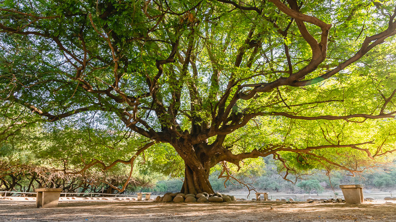 A huge 1000 year with early morning sunlight streaming through the leaves at Wadi Darbat near Salalah