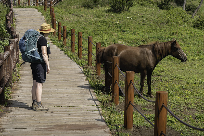 Watching the horse scratch its butt on a fence rope on Jeju Olle Trail Route 10