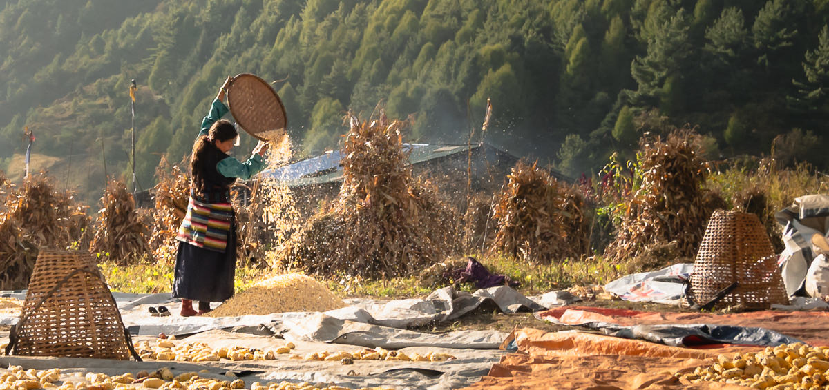 Woman sifting corn in a field with sunlight streaming in