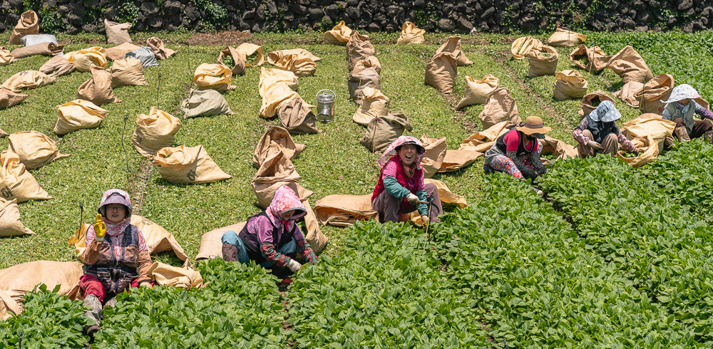 Women in a row picking fields of green plants and filling sacks near Gonae on Jeju Olle Trail Route 15-B