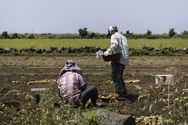 Workers gathering potatoes in the fields on Jeju Olle Trail Route 10