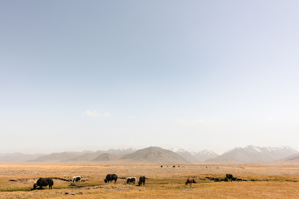 Yaks grazing in the high golden pastures near Zorkul Nature Reserve.