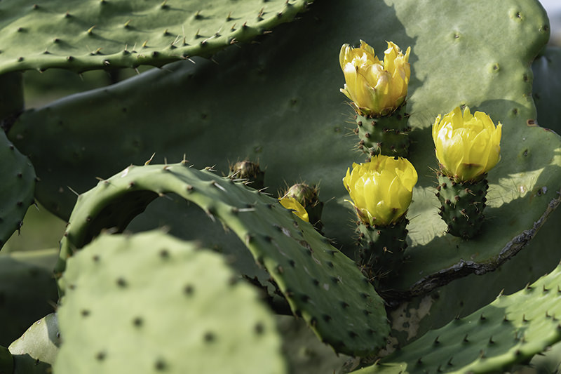Close up of yellow flowers on cactus in the plantation at Wolryeong-ri on Jeju Olle Trail Route 14