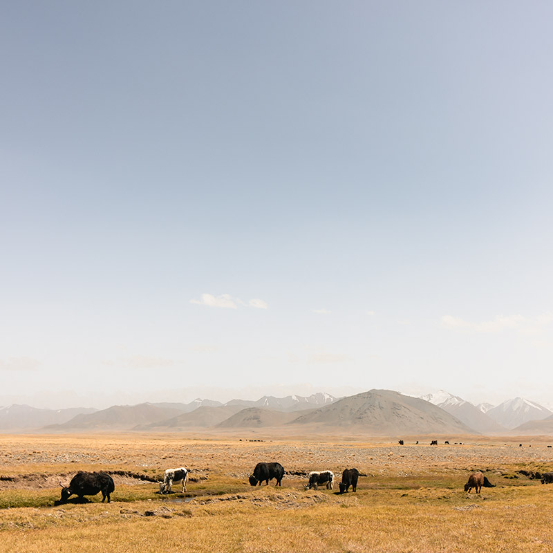 Shaggy cows graze on pastures in front of distant mountains