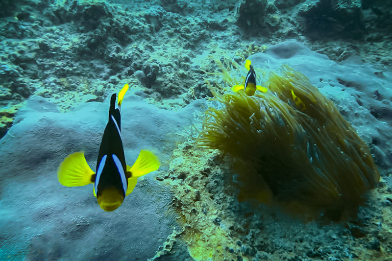 Dancing clown fish defend their home under the water in Oman