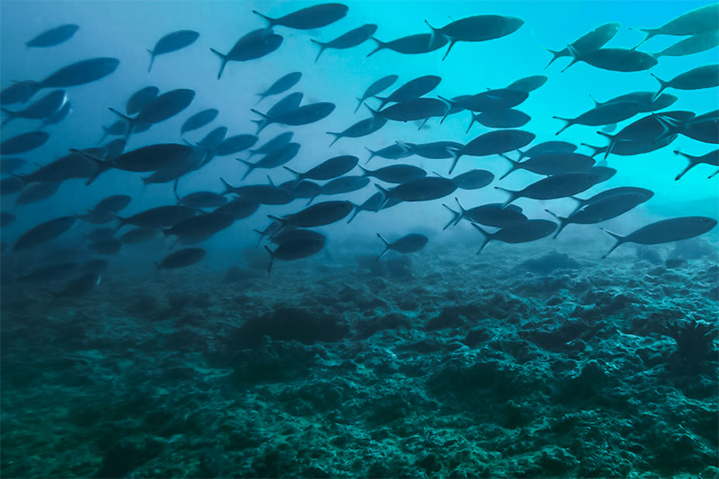 A large school of fish swims by under the water in Oman